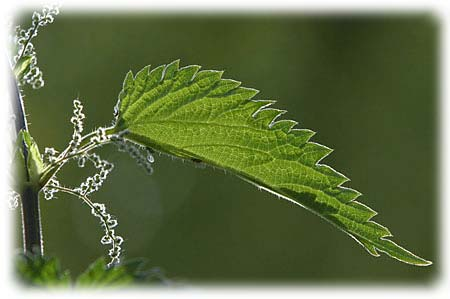 http://www.produits-gervol.com/images/img_plantes/ortie-5.jpg